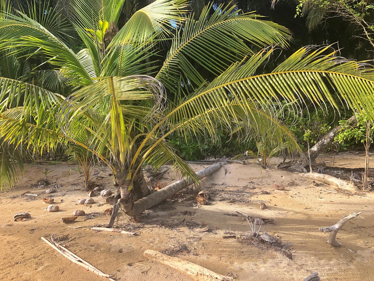 Never Say Die coconut tree
